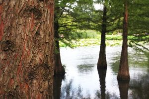 ellerhoop_taxodium_1_500