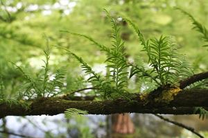 ellerhoop_taxodium_2_500